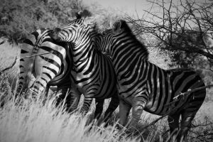Zebra Family, Kruger Park, South Africa