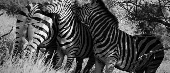 Zebra Family, Kruger Park, South Africa