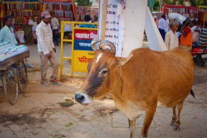 Street Cows, Varanasi, India